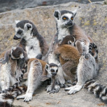 Lemur mothers and kids thumbnail