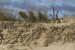 Crystal Mimicry (brucetopher) Tags: dune dunes sand beach atlantic sanddunes erosion texture natural nature landscape flora beachgrass grass vegetation pattern sculpture foundart found creation wall