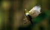 lift off  Silver eye (JoMacca) Tags: movement bird flight wingss startled silver eye