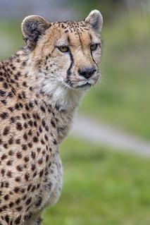 Portait of a cheetah