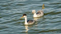 Clark's Grebes (Bob Gunderson) Tags: aechmophorusclarkii birds california clarksgrebe grebes lakemerced northerncalifornia sanfrancisco sunsetwoodenbridge swimmingbirdsother