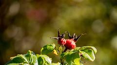 Früchte im Herbst 04 (p.schmal) Tags: panasonicgx80 hamburg farmsenberne herbstlaub herbstfrüchte