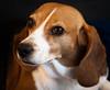 Laika (Brendan C.) Tags: dog dogs beagle cute puppy bark cutie beagles
