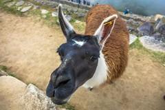 Machu Picchu locals.  Gimme a kiss!