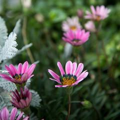 flower (Hideki Iba) Tags: flower street kobe japan nikon d850 2485 plant