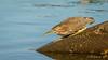 Green Heron [Explored] (Bob Gunderson) Tags: birds butoridesvirescens california greenheron heronshead herons northerncalifornia sanfrancisco wadingbirds