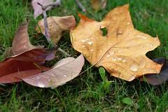 Fulles Mortes .... (davidgv60) Tags: david60 alcoi españa color spain fujifilmxt10 rocío gotas drops flora nature hojas exterior plantas ocasional otoño césped jardín garden photodgv
