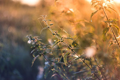 In the first rays (xkolba) Tags: nature plant nettle bokeh outdoor depthoffield m42 sunrise web helios44258mm helios podlasie
