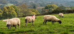 20171015-IMGP0801 (rob mulf) Tags: nymans landscapes sheep pentax westsussex greatbritian england outdoors nature