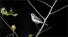 0371-  Yellow Rumped Warbler (canuckguyinadarkroom) Tags: iso6400 canon6d bird nature beauty portrait