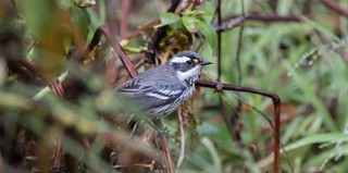 Black-throated grey warbler (Setophaga nigrescens)