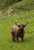 Scotish Highlander (thor_thomsen) Tags: 240917 frafjord rogaland norway bull scotish highlander color