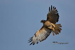 Red-tailed Hawk DSC_6828