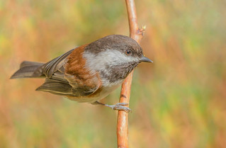 Chestnut-backed Chickadee (Poecile rufescens) - Vancouver, BC