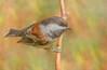 Chestnut-backed Chickadee (Poecile rufescens) - Vancouver, BC (bcbirdergirl) Tags: chestnutbackedchickadee vancouver bc beaverlake stanleypark poecilerufescens chickadee cute artistic fall painting birding feedingbirds joy autumn