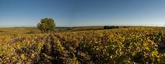 Chablisien - 18 octobre 2017 --22-Panorama (bebopeloula) Tags: photorobertcrosnier 2017 89 bourgogne chablisien europe france nikond700 yonne automne panorama