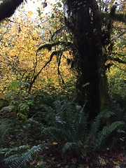 Autumn in the rainforest (clearbrook4) Tags: ferns