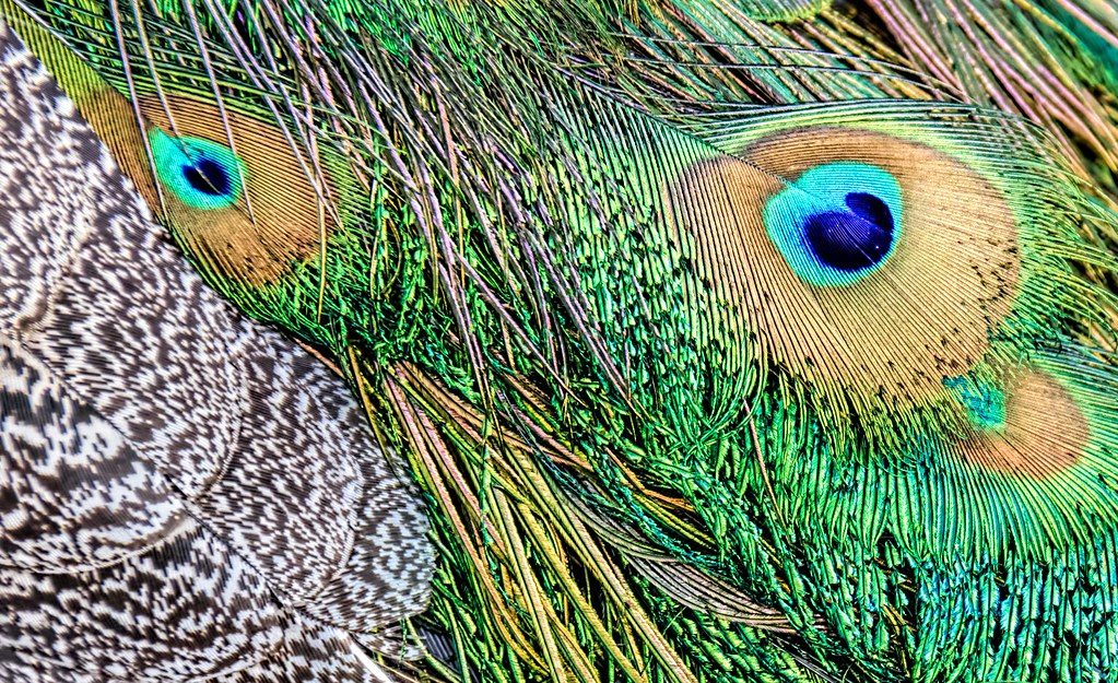 Face Eyes Photography Nature Peacocks Birds Colorful: The World's Best Photos Of Feathers And Peacocks