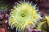 Anemone (rschnaible) Tags: monterey bay california aquarium anemone sealife animal underwater macro