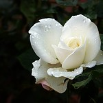 2017-10-24 Villers (55)white rose in dew thumbnail