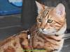 gio_k2_2017_08_368 (giordano torretta alias giokappadue) Tags: abetone bengala gastone gatto kat