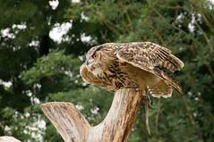 Oehoe - Eurasian eagle owl (Den Batter) Tags: nikon d7200 blijdorp zoo dierentuin oehoe eagleowl bubobubo