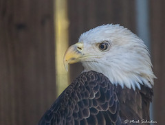Injured Bald Eagle (Explored October 28, 2017) (Mark Schocken) Tags: haliaeetusleucocephalus baldeagle americanbaldeagle injured nature bird boydhillpreserve stpetersburgflorida markschocken