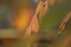 Abstrait d'automne (Explored 2017-10-08) (Gisou68Fr) Tags: jardin garden sorbier sorbus bokeh pastel vert orange canoneos650d efs60mmf28macrousm