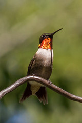 Ruby-throated Hummingbird (Archilochus colubris) (famasonjr) Tags: nature wildlife hummingbird redthroated canoneos7d canonef70300mmf456isusm rubythroated bokeh