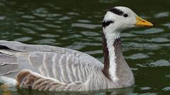 Goose portrait (4/4) : Bar-headed goose / oie a tete barree (Franck Zumella) Tags: goose oie barree tete bar head oiseau bird lake water eau lac