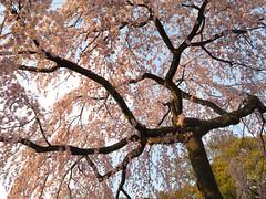 Imperial Palace Park | Sakura (Toni Kaarttinen) Tags: japan 日本 japonia اليابان японія япония japó japonsko jaapan ژاپن japani japon xapón ιαπωνία יפן जापान japán jepang an tseapáin giappone 일본 japāna japonija јапонија japão јапан japonska japón hapon ประเทศญี่ปุ่น japonya nhật bản japanese kyoto kioto 京都 kyōto kyōtoshi holiday vacation imperial palace park imperialpalace garden sakura hanami cherry blossoms cherryblossoms