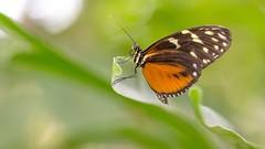 Heliconiusvlinder (Wim Boon (wimzilver)) Tags: vlinder wimboon blijdorp canoneos5dmarkiii canon100mmf28lismacro rotterdam nederland netherlands natuur nature