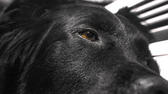 Tired, but still watching 🐶 (Jeffrey Camphens) Tags: dog black blackandwhite white focus sharp animal animals nature closeup macro nikon d3300 35mm pet portrait cute eye eyes