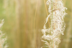 Weed with seeds (Vidya...) Tags: weed wild grass reed fluffy feathery soft seeds tall wilderness art nature macro monday