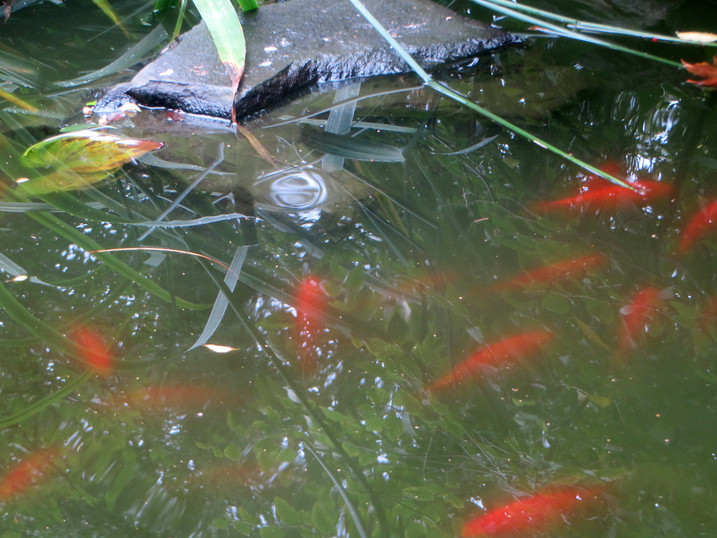 The world 39 s best photos of goldfish and pond flickr hive for Best pond plants for goldfish