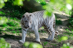 Balade (Scholt's) Tags: tigre blanc black white tiger nature nikon d7000 vert green bokeh france beauval zoo felin felini