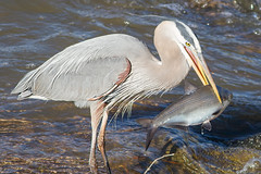 IMG_4032 Great Blue Heron (cmsheehyjr) Tags: cmsheehy colemansheehy nature wildlife bird heron greatblueheron jamesriver richmond virginia ardeaherodias floodwall