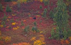 Black Bear (Best viewed on large screen) (Khanh B. Tran) Tags:
