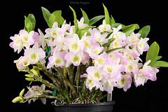 Dendrobium nobile (Harlz_) Tags: dendrobiumnobile dendrobium species orchid flowers bloom specimen