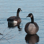 Canadian Geese - Connetquot, NY thumbnail