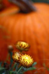 Pumpkin (bnbalance) Tags: pumpkin orange flowers fall nature vibrant