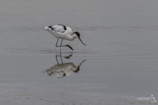Avocet, Recurvirostra avosetta