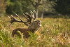 RED DEER (_jyphotography) Tags: photography pictures jyphotography jypictures canon7d canon canonphotography deerphotography deer wildlife wildlifephotography nature naturephotography animalphotography animals animal