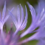 Pétales de Centaurea thumbnail