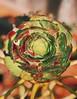 Aeonium Arboreum (phongsta) Tags: macro vsco flower naturephotography blackrose succulent aeoniumarboreum