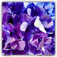 Hydrangea. (kimlno) Tags: nature flora flower hydrangea kimlno