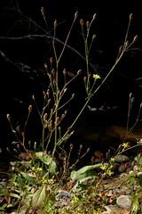 *Lapsana communis, NIPPLEWORT. (openspacer) Tags: flower jasperridgebiologicalpreserve jrbp lapsana nipplewort nonnative riparian