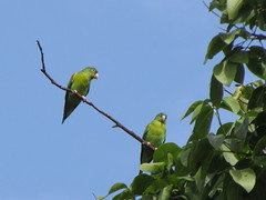 periquito (vanevelezc) Tags: ave bird periquito parakeet animal animals nature naturaleza árbol rama