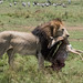 Male lion carrying a kill