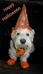 "10/12A ~ ""Riley in his Halloween Costume"" (ellenc995) Tags: riley westie westhighlandwhiteterrier halloween 12monthsfordogs17 alittlebeauty coth thesunshinegroup thegalaxy rubyphotographer fantasticnature coth5 sunrays5 challengeclub supershot 100commentgroup"